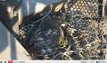 Вебкамера на гнезде Краснохвостого канюка