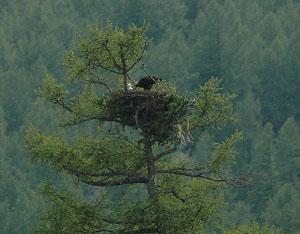 Гнездо могильника. Алтай. Фото И. Карякина.