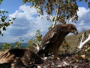 Птенцы могильника в возрасте 8 недель в гнезде. Башкирия. Фото Р. Бекмансурова.