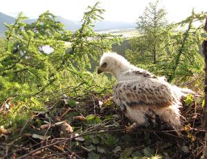 Птенец могильника в возрасте 4 недель в гнезде. Алтай. Фото И. Карякина.