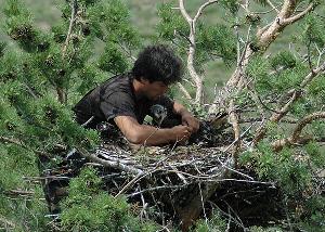 Игорь Карякин кольцует птенцов могильника. Фото Э. Николенко.