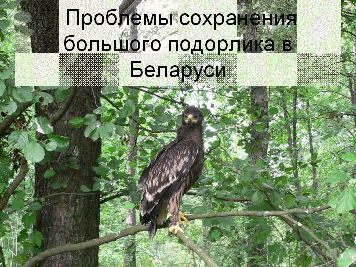 Охрана большого подорлика в Беларуси