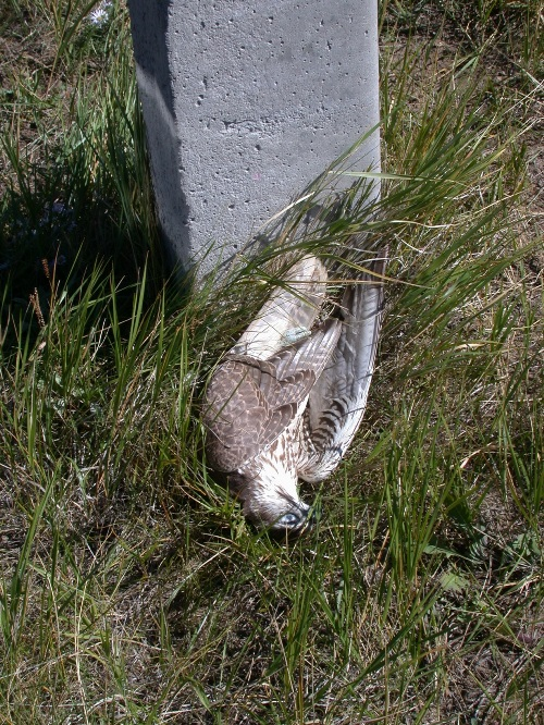 Балобан, погибший на ЛЭП. Фото О. Горошко.