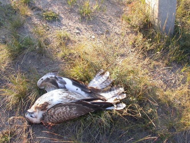 Мохноногий курганник погибший на ЛЭП. Фото О. Горошко.