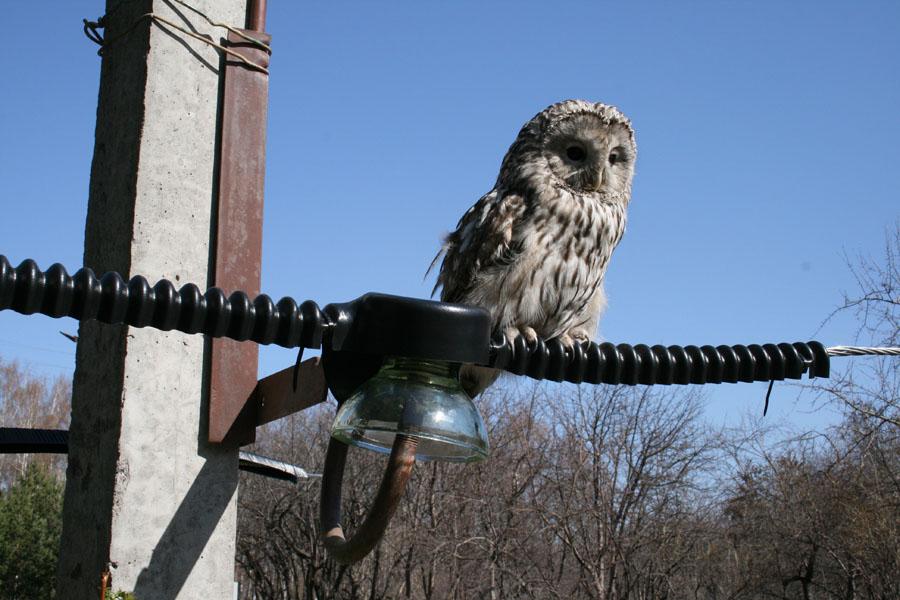 Длиннохвостая неясыть, сидящая на опоре, оснащенной птицезащитными устройствами. Фото С. Тетнева.