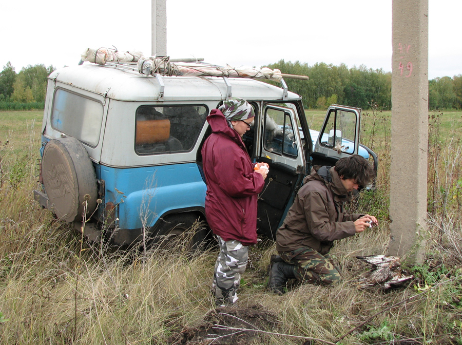 Регистрация факта гибели канюка на птицеопасной ЛЭП в Самарской области. Фото А. Левашкина.