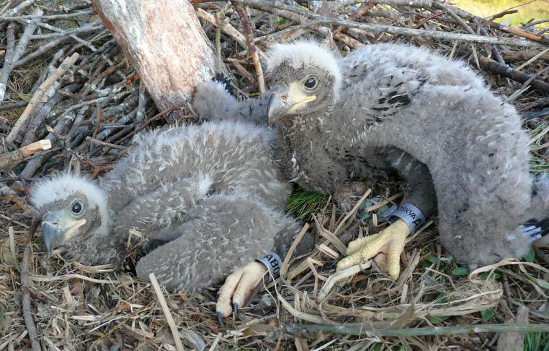 Минимальный возраст для кольцевания птенцов - начало их оперения. Птенцы орлана. Фото Р. Бекмансурова.
