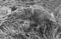 Виргинский филин добыл скопёныша из гнезда