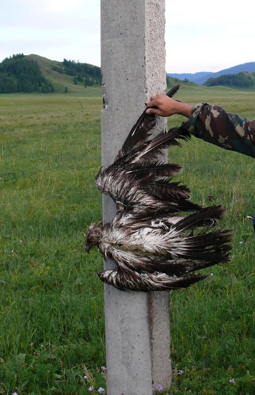 Погибший на ЛЭП степной орёл