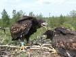 Первые орланы-белохвосты, закольцованные в 2012 г.