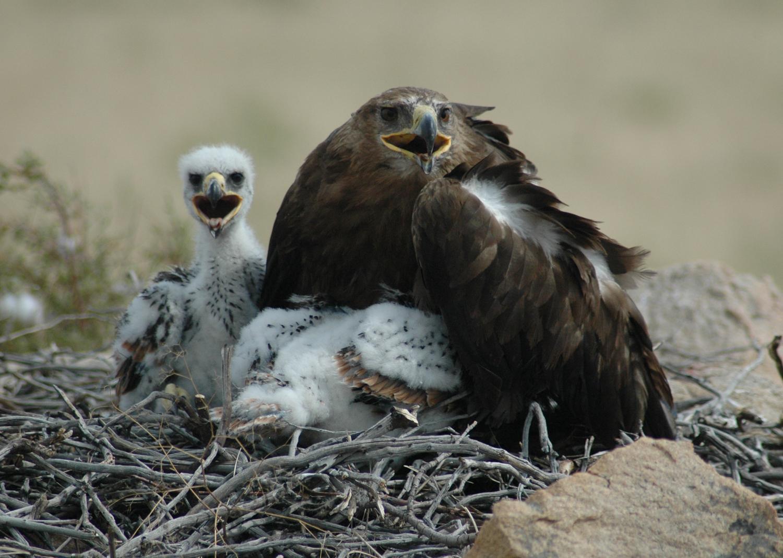 Самка степного орла с птенцами. Фото И. Карякина.