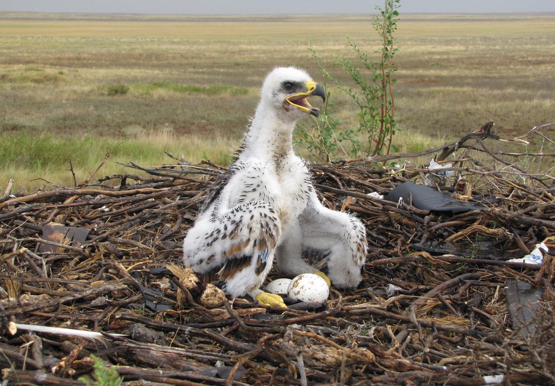 Птенец степного орла. Фото И. Карякина.