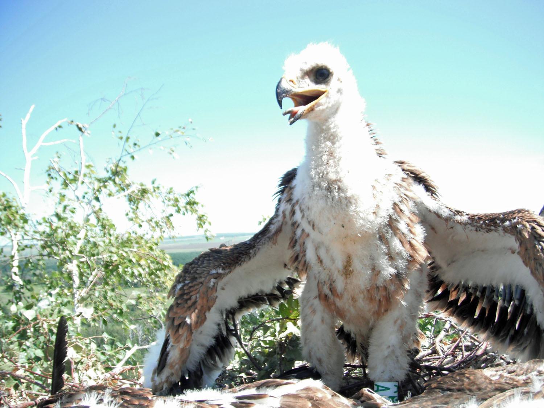 Могильник (Aquila heliaca). Самарская область. Фото М. Шашкина.