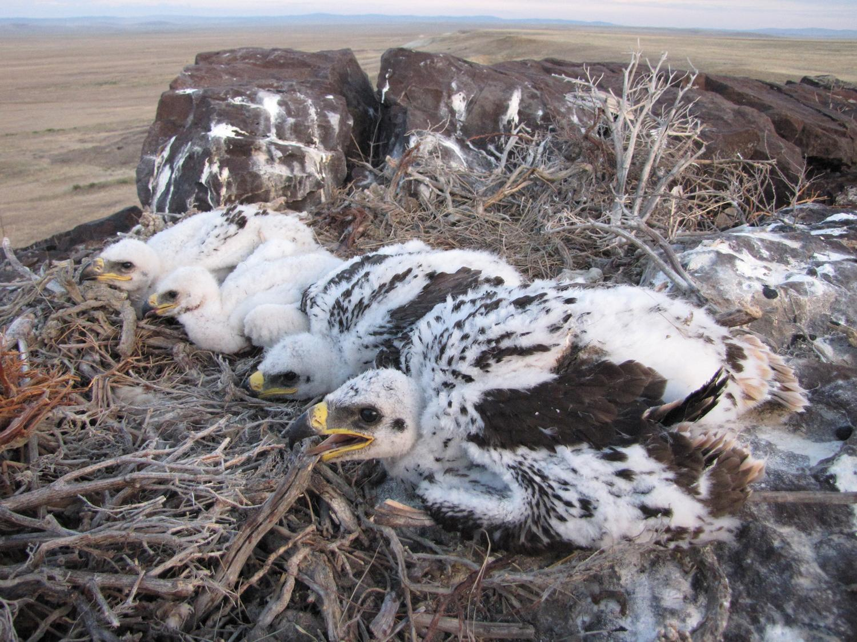 Выводок степного орла из 4-х птенцов. Фото И. Карякина.