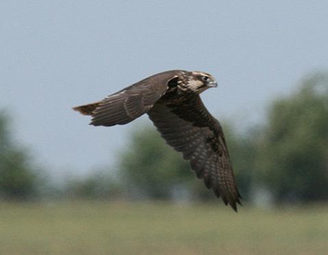 Молодой балобан. Фото с сайта Украинского центра исследований хищных птиц