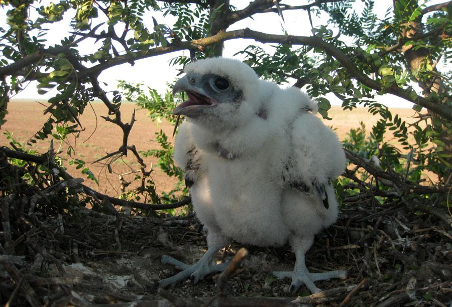 Птенец балобана в гнезде на дереве. Фото с сайта Украинского центра исследований хищных птиц