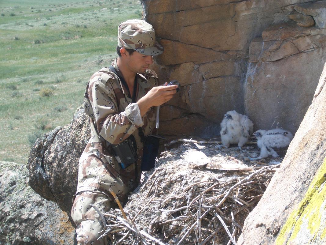 Игорь Карякин на гнезде балобана. Фото Э. Николенко.