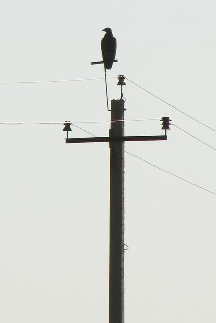 Степной орёл на опоре ЛЭП-убийце птиц. Фото А. Салтыкова