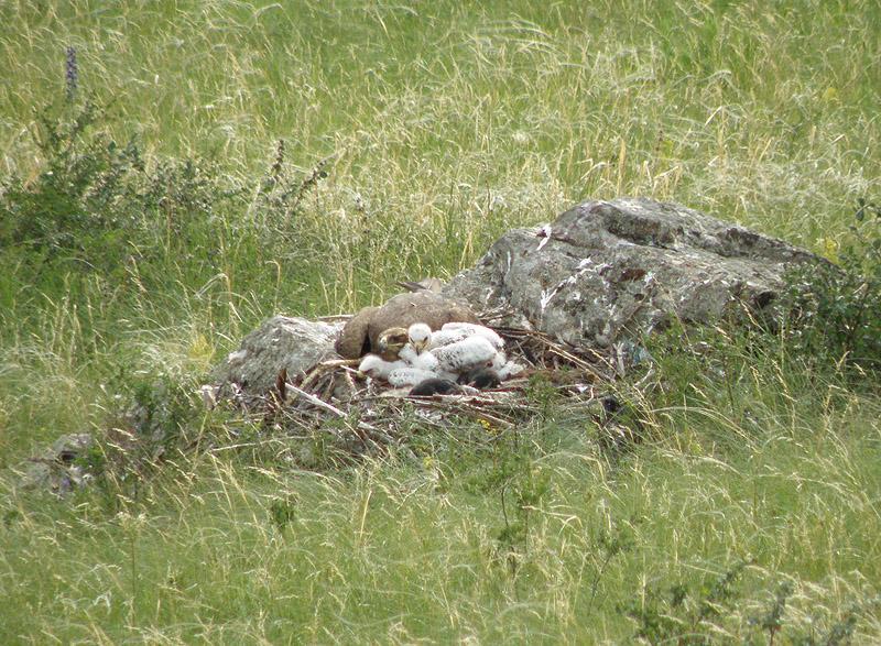 Самка степного орла с птенцами в Чарышской степи. Фото Р. Бахтина.