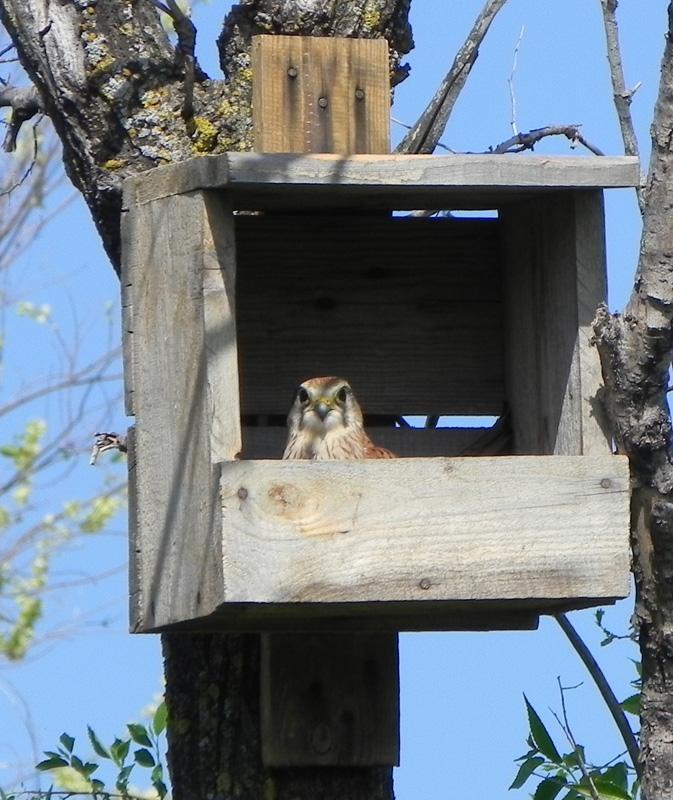Пустельга в гнездовом ящике. Фото Н. Рыминой.