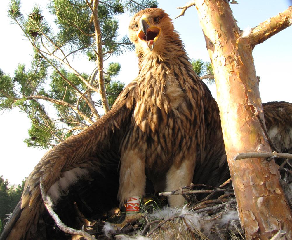 Могильник (Aquila heliaca). Алтайский край. Фото И. Карякина.