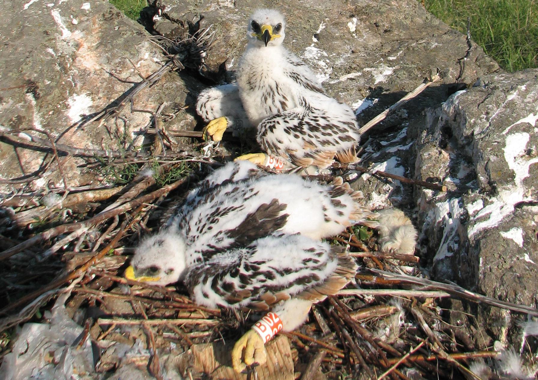 Степной орёл (Aquila nipalensis). Алтайский край. Фото С. Важова.