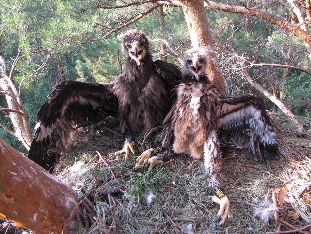 Большой подорлик (Aquila clanga). Алтайский край. Фото И. Карякина.