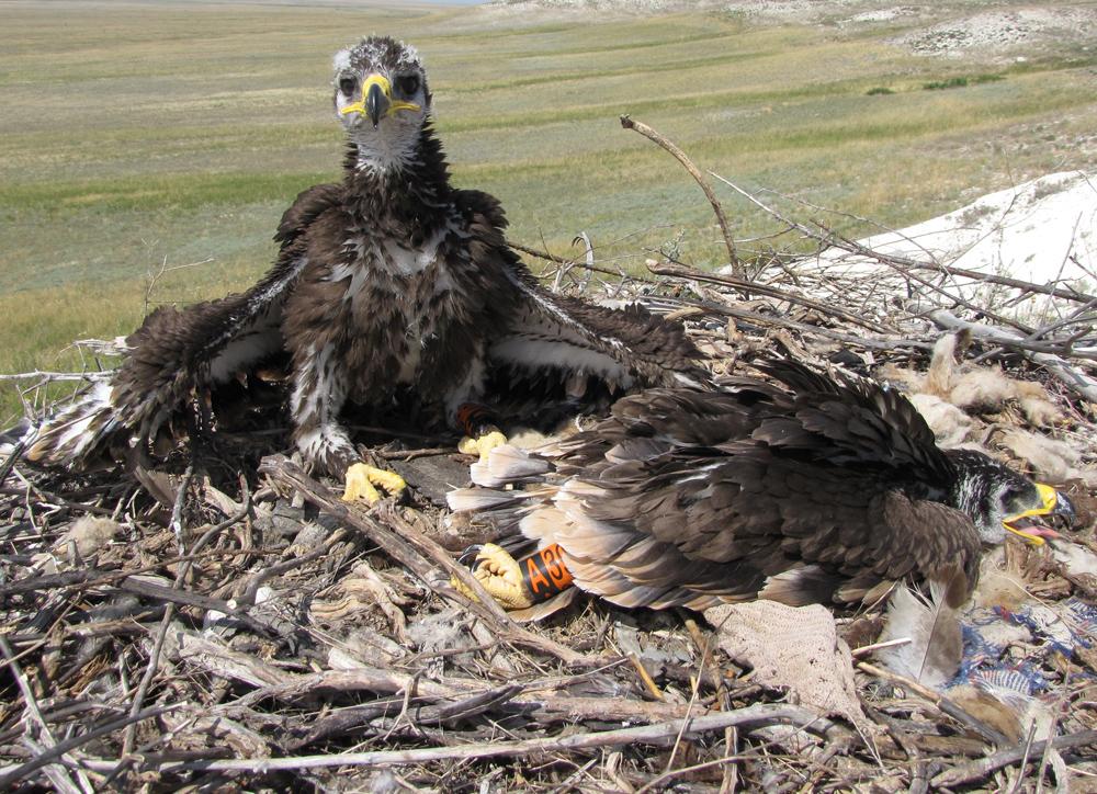 Степной орёл (Aquila nipalensis). Актюбинская область. Фото И. Карякина.