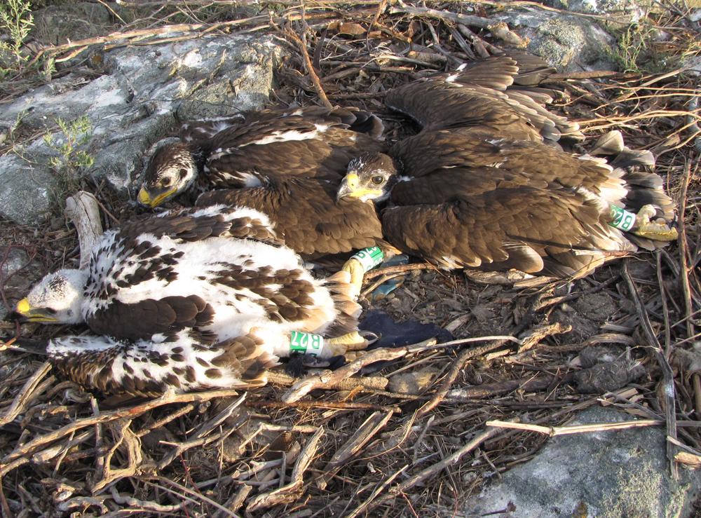 Степной орёл (Aquila nipalensis). Оренбургская область. Фото И. Карякина.
