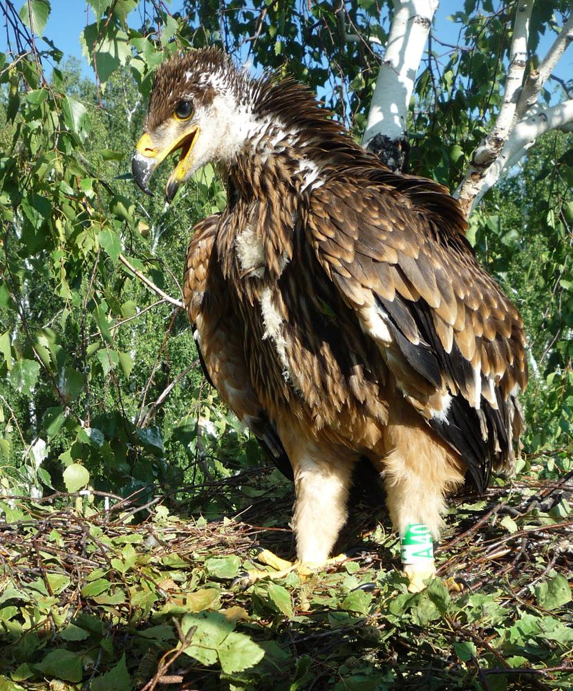 Могильник (Aquila heliaca). Республика Татарстан. Фото А. Карпова.