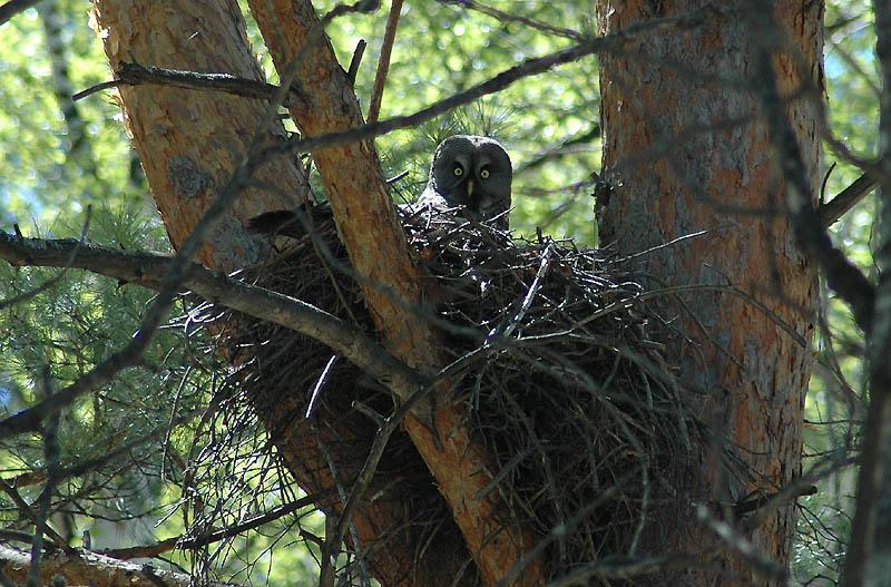 Естественное гнездо бородатой неясыти в постройке ястребиного хищника на сосне. Фото И. Карякина