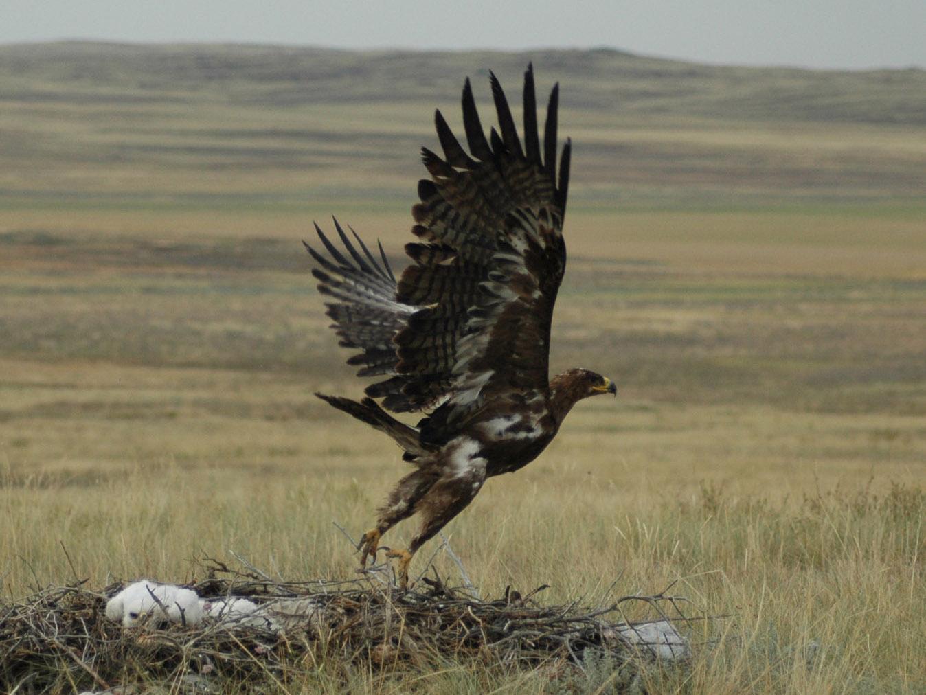 Молодая самка степного орла уже размножается. Фото И. Карякина
