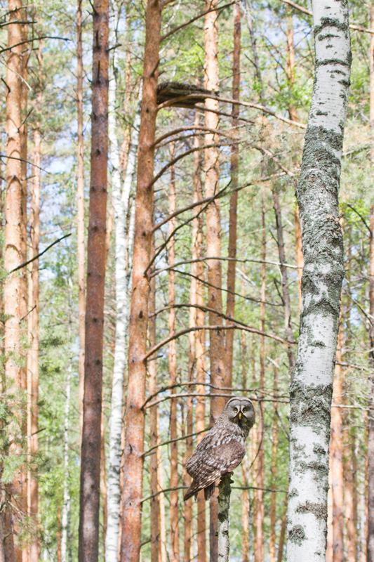 Бородатая неясыть рядом с гнездом на платформе. Фото А. Левашкина