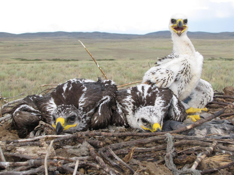 Птенцы степного орла. Фото И. Карякина