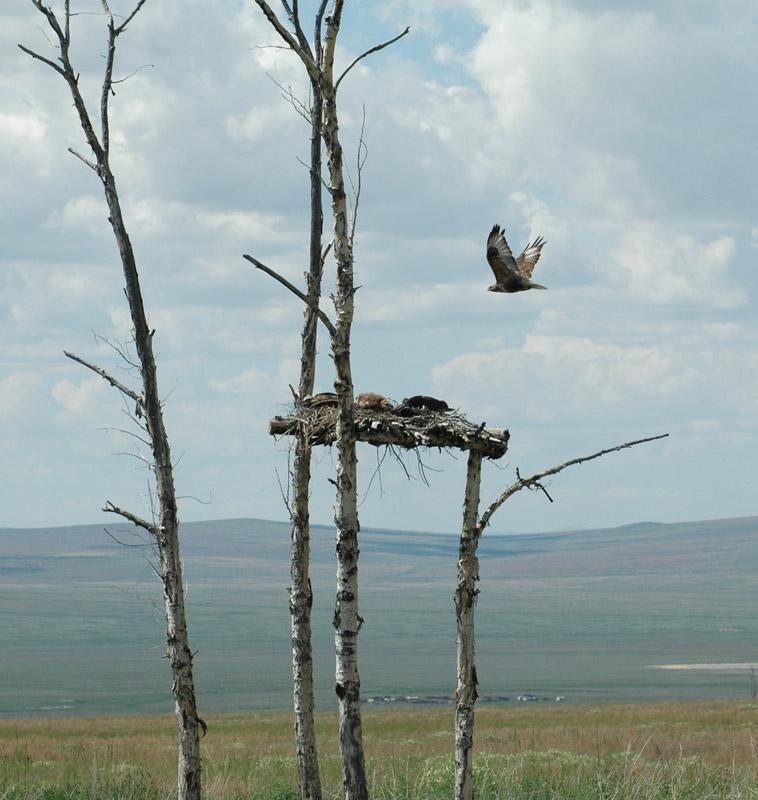 Гнездо мохноногого курганника на платформе на тополе. Тополь усох, но платформа продолжает заниматься птицами. Фото И. Карякина