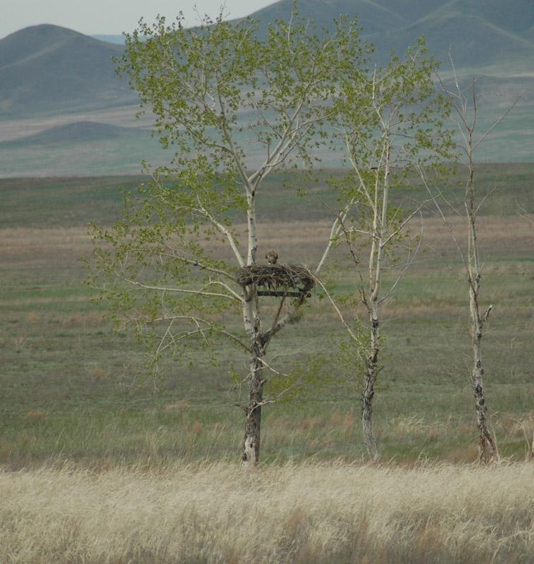 Гнездо мохноногого курганника на платформе на тополе. Фото И. Карякина