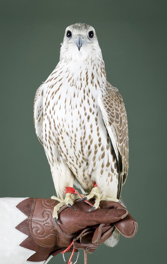 Призёр конкурса на фестивале сокольников в Катаре, забравший призовой фонд в 137,4 тыс. долларов США