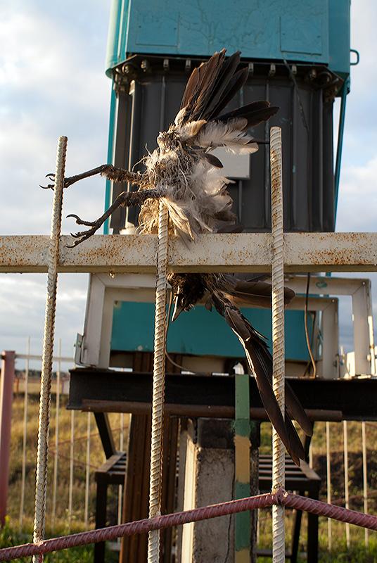 Ворона, погибшая на трансформаторе