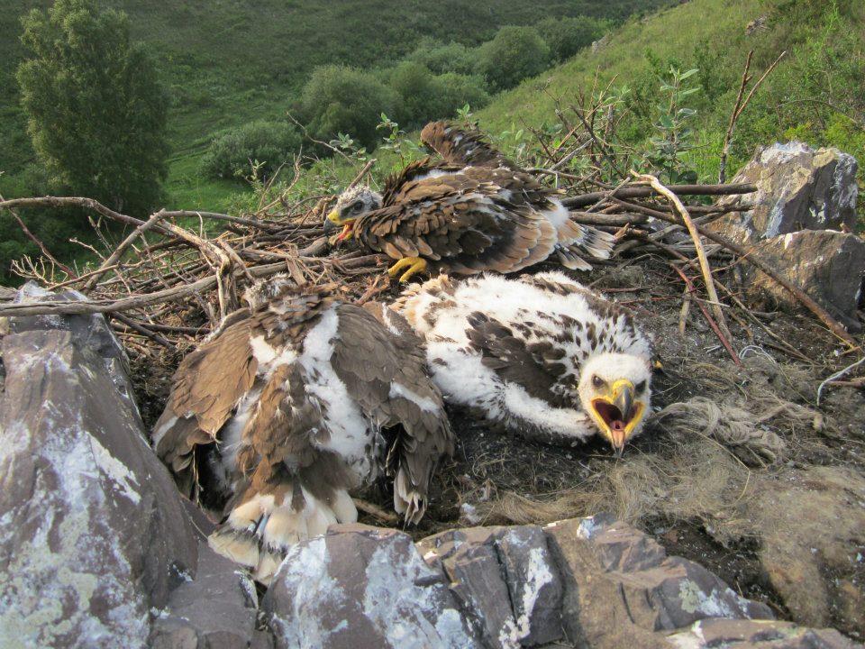 Птенцы степного орла в гнезде. Фото И. Баевой