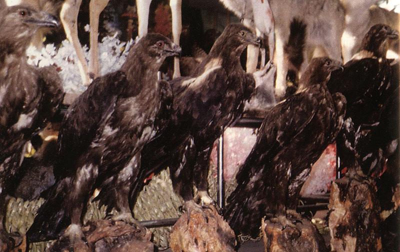 В Сирии степные орлы в большом количестве уничтожаются на чучела: чучела взрослых птиц в одной из таксидермических лавок. Фото В. Баумгарта (W. Baumgart, 2012)