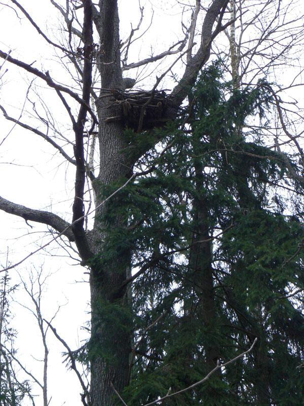 Гнездо филина на платформе. Фото Д. Кителя
