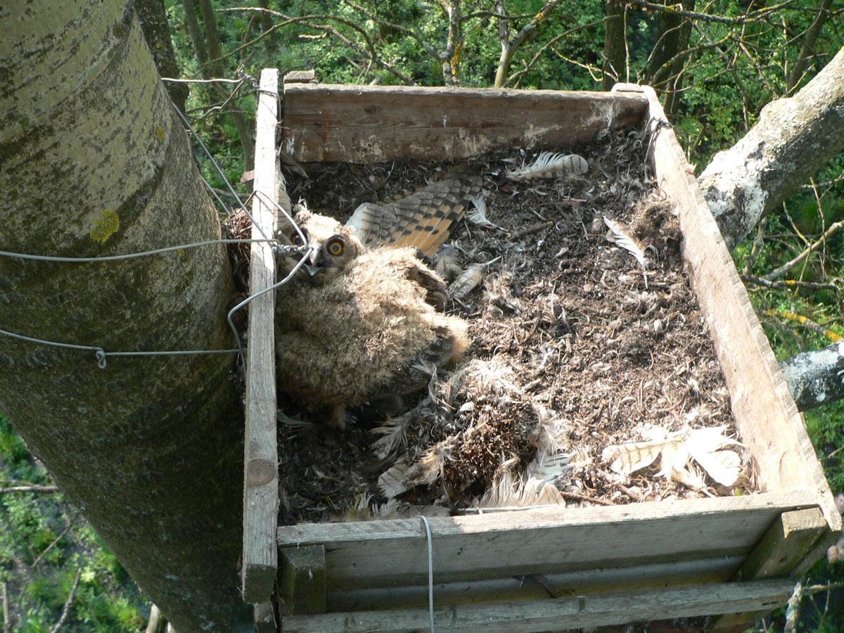 Гнездо филина в открытом ящике (аналог платформы). Фото Д. Кителя