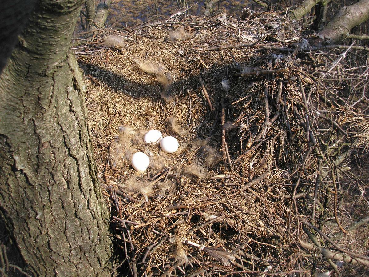 Естественное гнездо филина на дереве в постройке чёрного аиста. Фото Д. Кителя