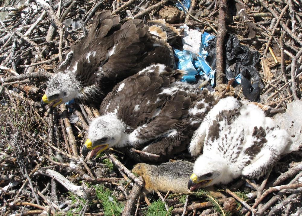 Выводок степного орла из 3-х разновозрастных птенцов. Фото И. Карякина