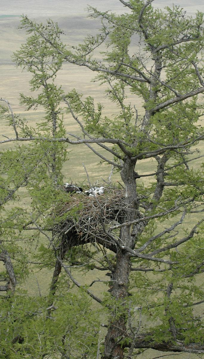 Естественное гнездо беркута на лиственнице. Фото И. Карякина