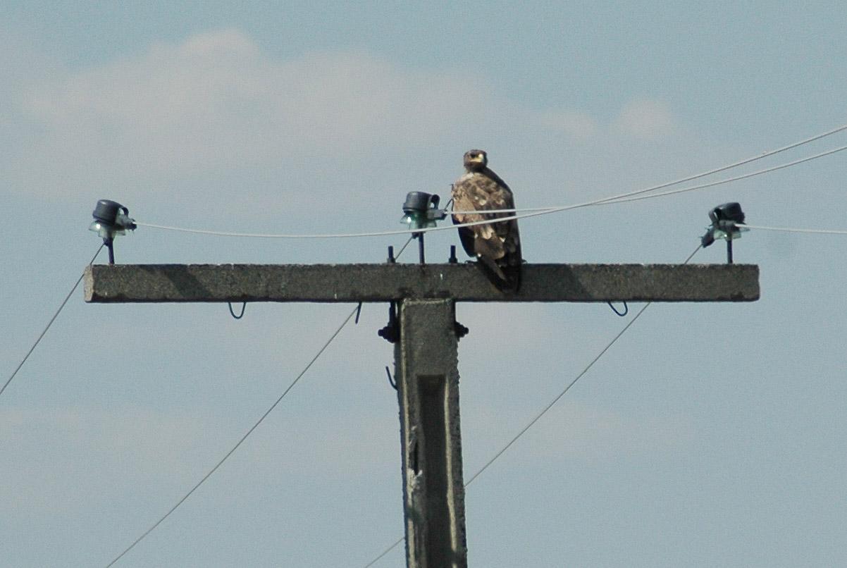 Степной орёл на птицеопасной ЛЭП, оснащённой ПЗУ Нижегородского производства, - ему уже не угрожает опасность погибнуть от удара электрическим током. Фото И. Карякина.