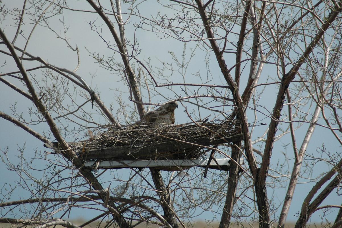 Гнездо мохноногого курганника на платформе на вязе. Фото И. Карякина