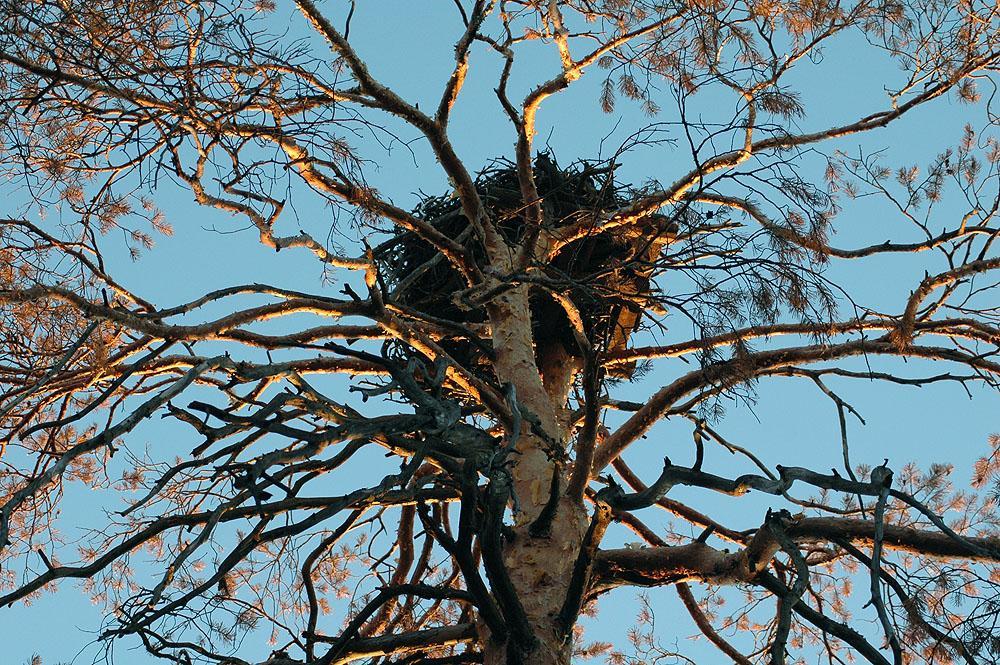 Гнездо скопы на платформе. Фото И. Карякина