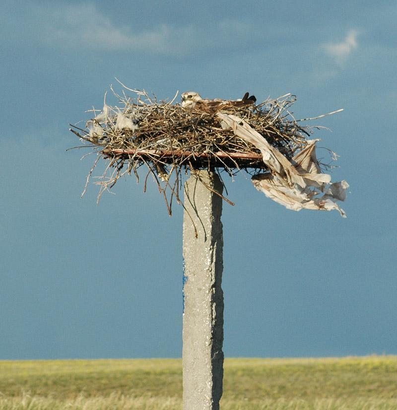 Мохноногий курганник в гнезде, устроенном на бетонной опоре среди степи. Фото И. Карякина