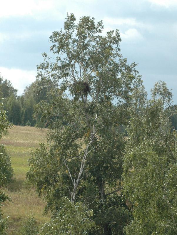 Естественное гнездо могильника на берёзе. Фото И. Карякина